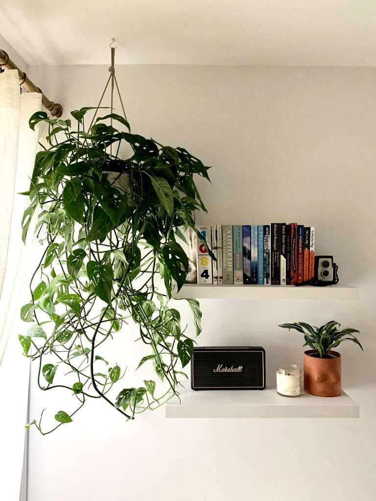 hanging monstera adansonii with floating bookshelves