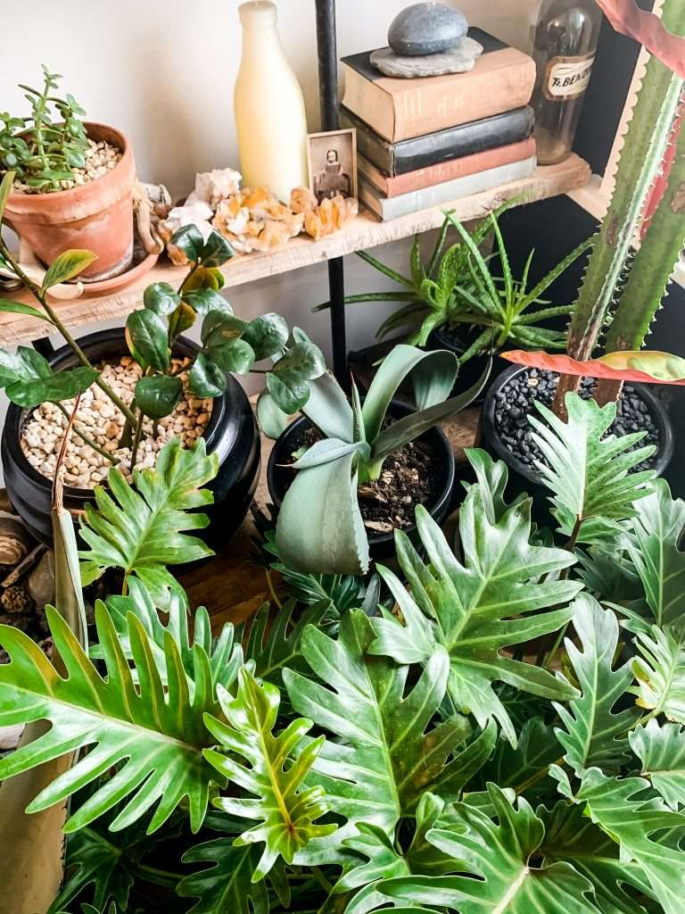 philodendron, zz plant, agave, aloe vera, cactus, and succulents under a bookshelf